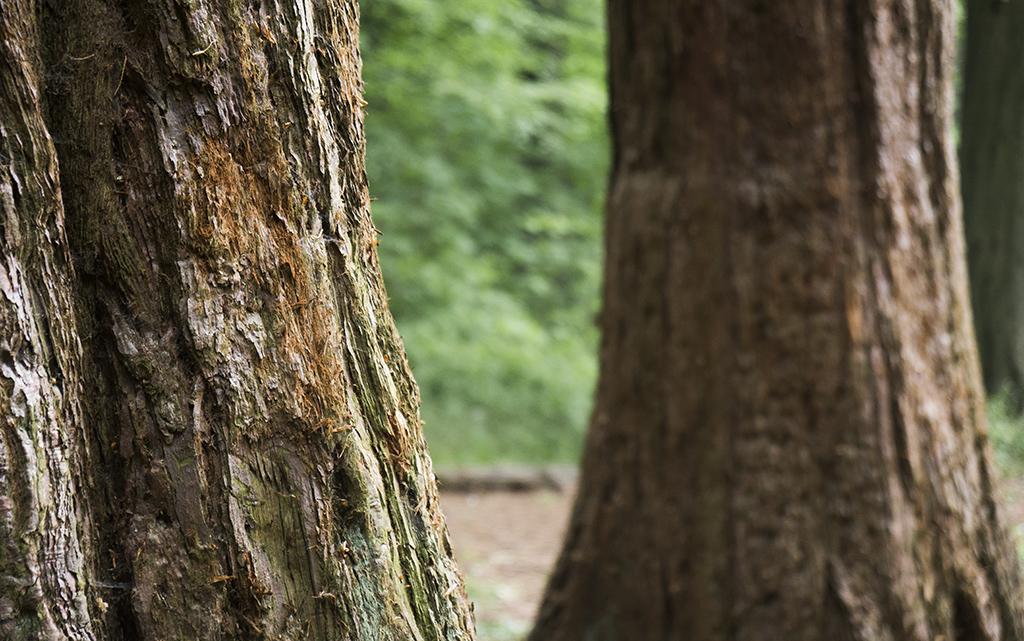 The Sequoia Walk